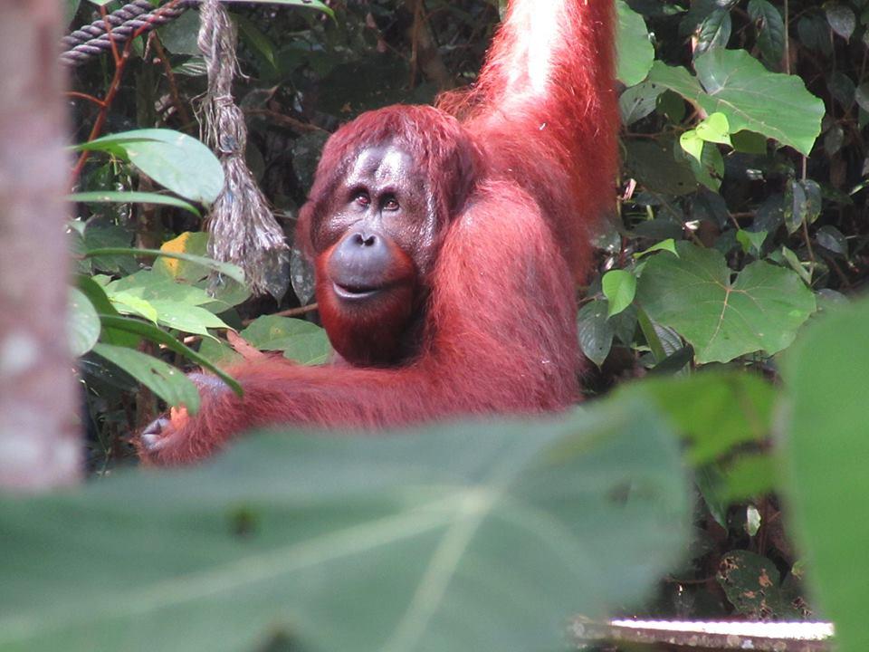 orangutan daddy
